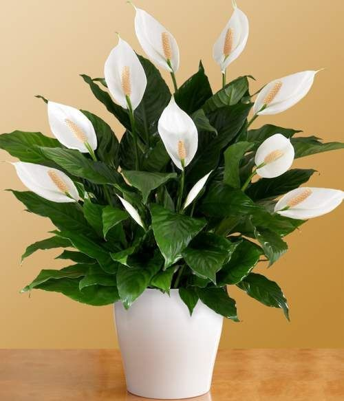 Indoor plants - Peace Lily