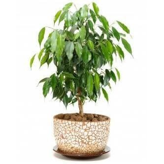 Indoor plants - Weeping fig